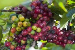 Coffee plant Royalty Free Stock Photo