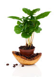 Coffee plant tree growing seedling in soil pile. Isolated on white background Stock Images