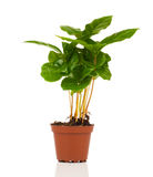 Coffee plant tree growing seedling in soil pile Royalty Free Stock Images