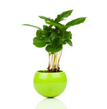 Coffee plant tree growing. Seedling in soil pile  on white background Stock Images