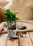 Coffee plant tree in paper packaging Royalty Free Stock Photos