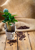 Coffee plant tree in paper packaging on sackcloth Stock Photo