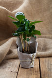 Coffee plant tree in paper packaging on sackcloth Stock Image