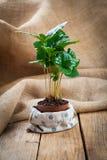 Coffee plant tree Stock Photos