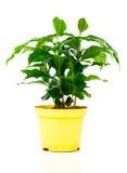 Coffee plant tree Royalty Free Stock Photo