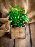 Coffee plant treeon sackcloth Royalty Free Stock Image