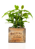 Coffee plant Stock Images