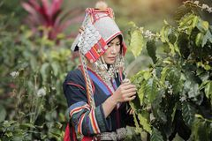 Free Coffee Plantation Royalty Free Stock Photos - 107897358