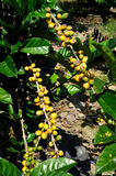 Coffee plantation Royalty Free Stock Photography