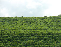 Coffee plantation. In a hill Royalty Free Stock Photo