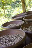 Coffee plantation in Bali . Coffee beans. Coffee plantation in Bali Indonesia. Coffee beans royalty free stock image
