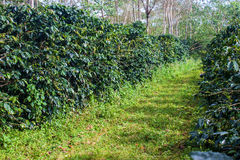 Coffee plantation. On Bolaven Plateau in Laos Stock Photo