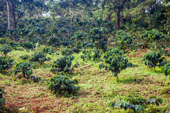 Coffee plantation. On Bolaven Plateau in Laos Royalty Free Stock Image