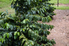 Coffee plantation Stock Photography