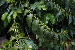 Coffee plantation Stock Image