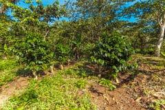 Coffee Plantation at Cuba Royalty Free Stock Image