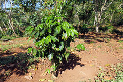 Coffee Plantation at Cuba Stock Images