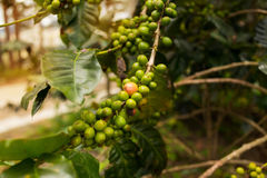Coffee plantation in Da Lat, Vietnam. Green coffee beans in the tree. Horizontal colorful image Royalty Free Stock Image