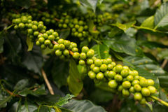 Coffee plantation in Da Lat, Vietnam. Green coffee beans in the tree. Horizontal colorful image Stock Photo