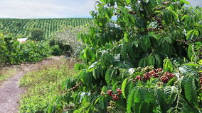 Coffee Plantation in Eastern Vietnam stock video footage
