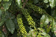 Coffee plantation farm in Brazil stock photos