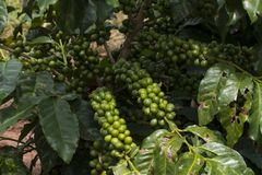 Coffee plantation farm in Brazil royalty free stock photo