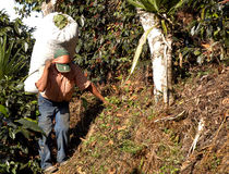 Coffee plantation Guatemala 11 Stock Image