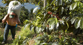 Coffee plantation Guatemala 22 Stock Images