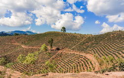 Coffee plantation in the highlands of Honduras. Landscape view at the coffee fields in the Highlands of Honduras royalty free stock images