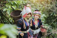 Coffee Plantation. Hill Tribe Coffee Plantation,Akha Woman Picking Red Coffee On Bouquet On Tree,Coffee Product Of Hill Tribes.Northern Thailand Royalty Free Stock Images