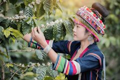 Coffee Plantation. Hill Tribe Coffee Plantation,Akha Woman Picking Red Coffee On Bouquet On Tree,Coffee Product Of Hill Tribes.Northern Thailand Stock Images