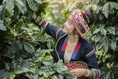 Coffee Plantation. Hill Tribe Coffee Plantation,Akha Woman Picking Red Coffee On Bouquet On Tree,Coffee Product Of Hill Tribes.Northern Thailand Royalty Free Stock Image