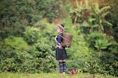 Coffee Plantation. Hill Tribe Coffee Plantation,Akha Woman Picking Red Coffee On Bouquet On Tree,Coffee Product Of Hill Tribes.Northern Thailand Stock Image