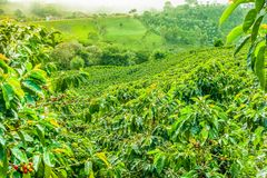 Coffee Plantation in Jerico, Colombia stock photos