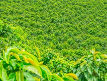 Coffee Plantation in Jerico, Colombia stock image