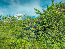 Coffee Plantation Jerico, Colombia royalty free stock photo