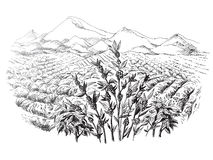 Coffee plantation landscape. In graphic style