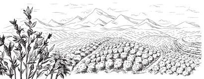 Coffee plantation landscape. In graphic style hand-drawn vector illustration Stock Photography