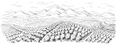 Coffee plantation landscape. In graphic style hand-drawn vector illustration