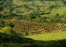 Coffee plantation landscape Stock Photo