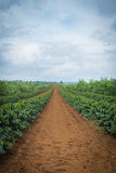 Coffee Plantation. Royalty Free Stock Image