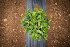 Coffee Plantation. Royalty Free Stock Images