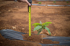 Coffee Plantation. Royalty Free Stock Photo