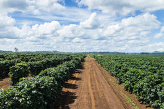 Coffee Plantation. Stock Photo