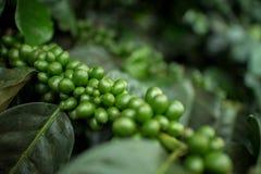 Coffee Plantation. Royalty Free Stock Image