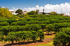Coffee Plantation in Maui Stock Photography