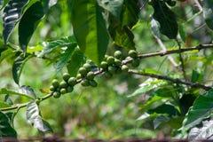 Coffee plantation patterns. Landscape panorama of a coffee plantation Stock Photography