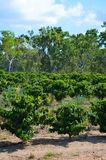 Coffee plantation in Queensland. Australia Royalty Free Stock Images