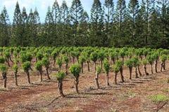 Coffee plantation Stock Image