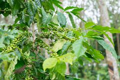 Coffee plantation in rubber tree plantation farm. In south thailand Royalty Free Stock Images